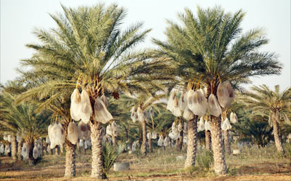 Agric-date-palm