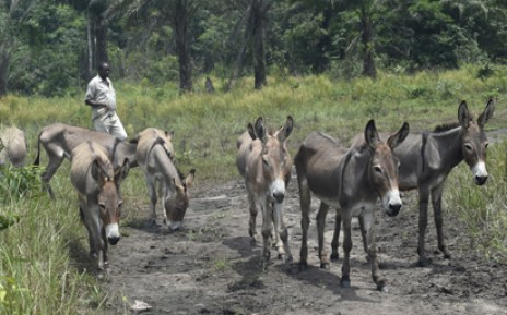 Law to ban donkey export, slaughtering coming — Minister