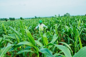 CBN moves to capture 200,000 maize farmers in Nigeria