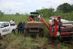 Obaseki's agric reforms: Farmers commence harvest at Agenebode rice farm