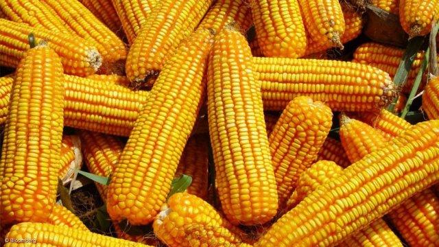 Genetically Modified Maize