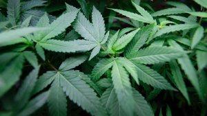 Marijuana Legalization, Nigeria