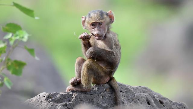 Monkeys infected with novel coronavirus developed short-term immunity