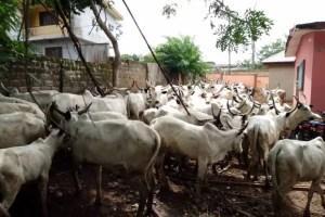 Amotekun Corps arrest herdsman, 65 cows over farm destruction in Ondo
