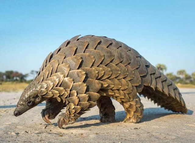 The need for stiffer sanctions against pangolins trafficking