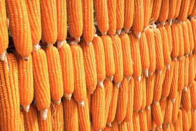 Agribusiness: Maize farmers, processors condemn calls for maize importation