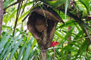 THE PHILIPPINES – A BACKPACKER'S GUIDE - The famous Tarsier monkey