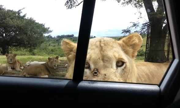 safaripark tijger deur