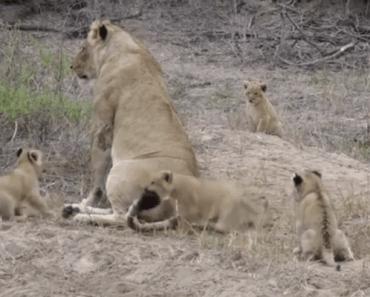 leeuwin kinderen