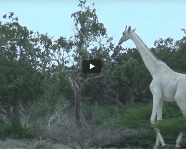 witte giraf zeldzaam