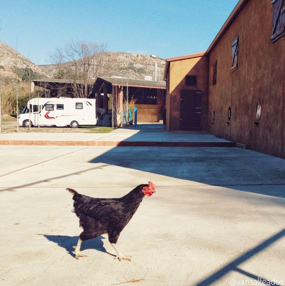 Caravana aparcada en el Camping la Granja en Torroella de Montgrí. Una gallina pasa caminando en primer plano.