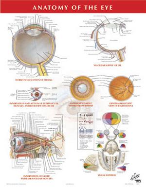 Gray's Anatomy and Netter's Poster Series | Van Schaik