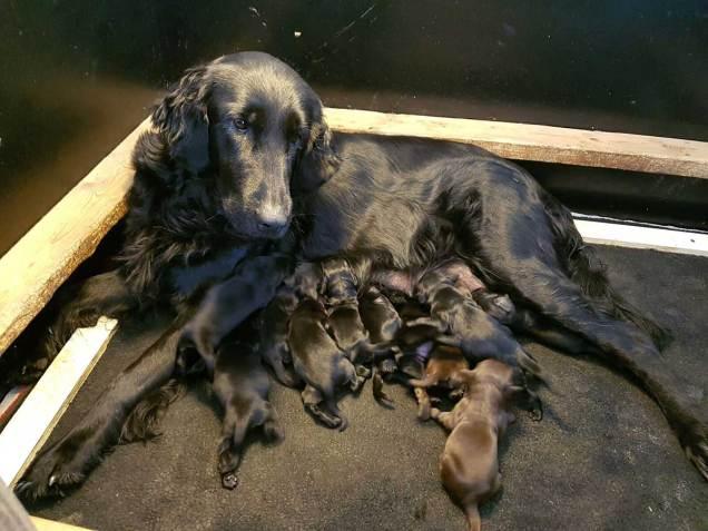 flatcoated pups kira 1