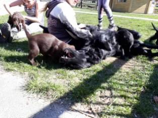 flatcoated pups 4april3