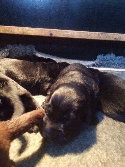 flatcoated-pups-2017-3