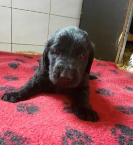 puppies-spokendam-flatcoated10