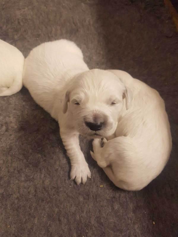 golden retriever pups nula