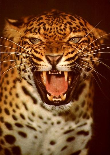 Vantage Technology Magazine Roaring Leopard