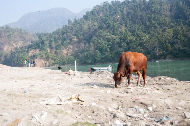 Kráva u břehu Gangy