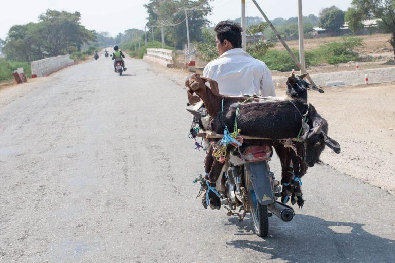 Čtyřhlavé stádo koz rozhlížejících se po okolí. Nic vtipnějšího jsem na motorce dlouho neviděl.