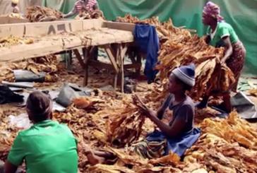 TABACCO: In Zimbabwe, il lavoro del tabacco avvelena i bambini!