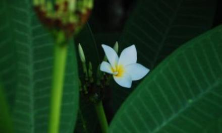 Flor de Aleli