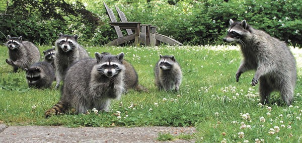 Image result for group of raccoons