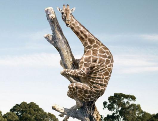 Reacción de una pobre jirafa tras ver la última de Almodóvar
