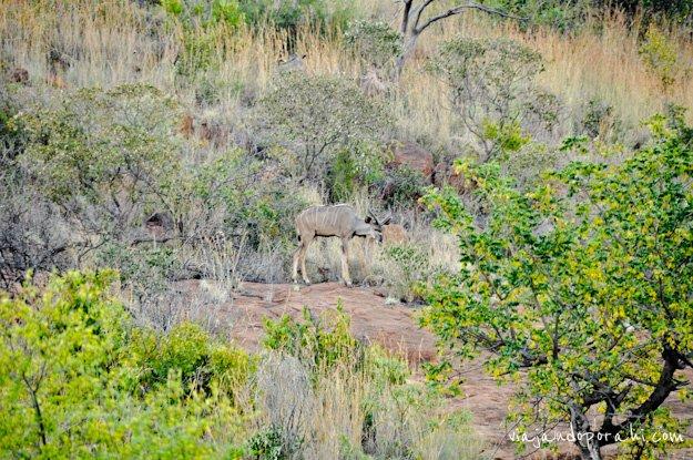 safari-sudafrica-5