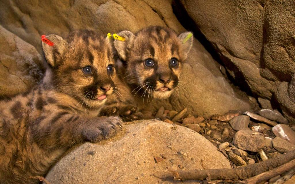 THE TRUTH ABOUT BIG CATS | Saving the wild lions of Ventura County