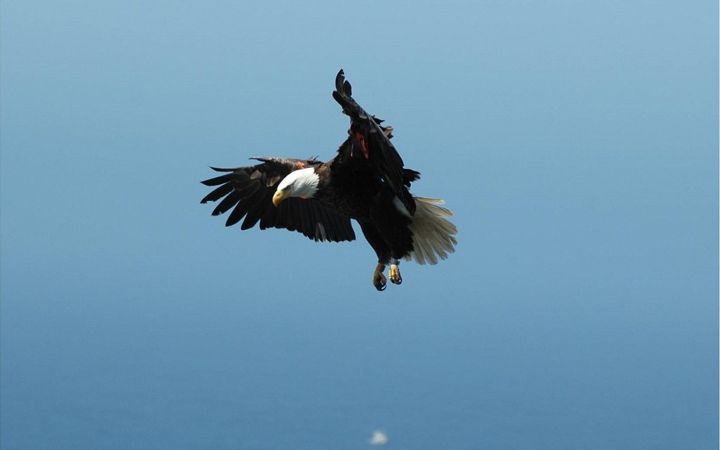COUNTING CHICKS | Bald eagle population begins to soar on the Channel Islands with record hatchlings