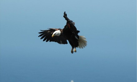COUNTING CHICKS   Bald eagle population begins to soar on the Channel Islands with record hatchlings