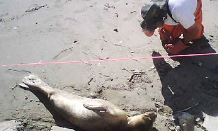 Locals of Silver Strand beach rescue seal pup