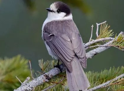 Gray Jay National Bird Of Canada Interesting Facts About Gray Jay