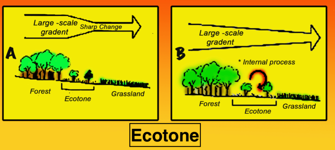 Ecotone is a A zone between two ecosystems b An ecological class 11 biology  CBSE