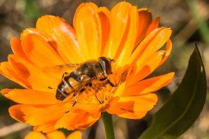 Una abeja sobre una flor de caléndula