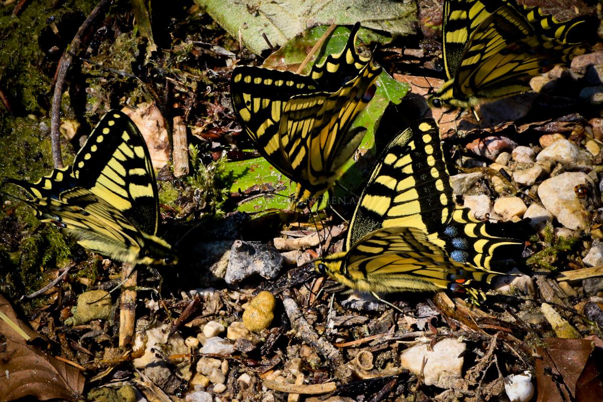 Schmetterlingstreffen der Schwalbenschwänze