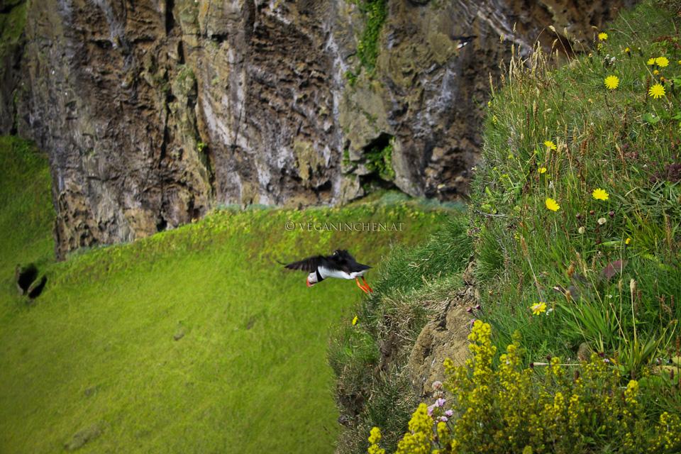 Papageientaucher im Flug, Island