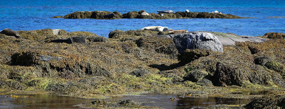 Robben Súðavík Westfjorde Island veganinchen