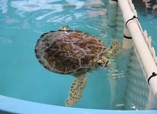 Sea Turtle at Georgia Sea Turtle Center