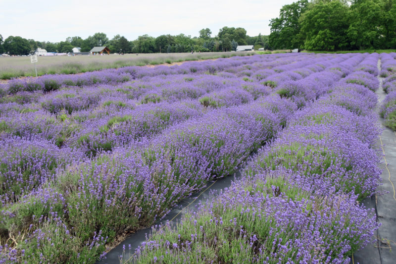 The First Day of the Rest of Your Life; Lavender