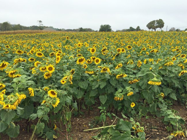 Sunflower Pumpkin Patch
