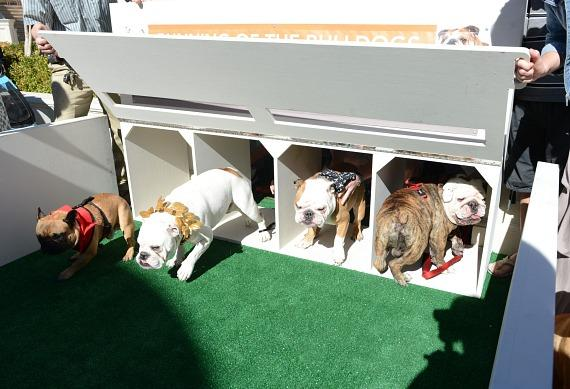 """Bulldogs compete in the inaugural """"Running of the Bulldogs"""" at Caesars Palace in Las Vegas on Saturday, Sept. 28"""