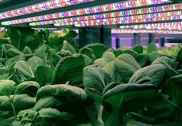 """Oasis Biotech Unveils Evercress Produce Brand in Effort to """"Feed the World. Better."""""""