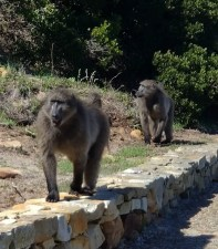 Baboons - Scourge of the Vineyards!