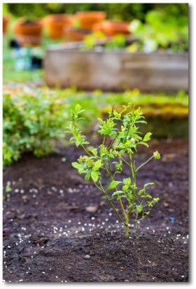 Best Tips For How To Grow Blueberries