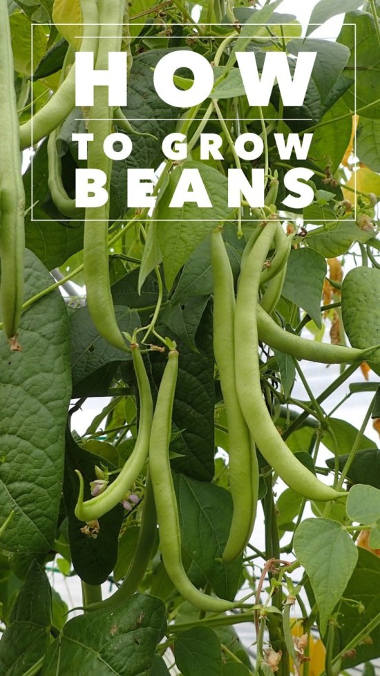 how to grow beans in a vegetable garden