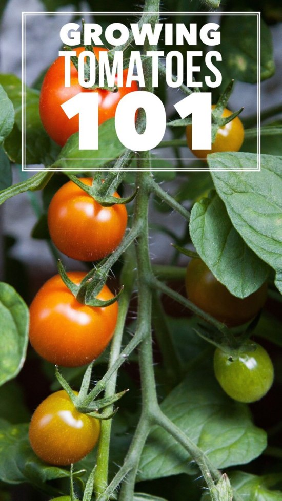 growing tomatoes successfully guide