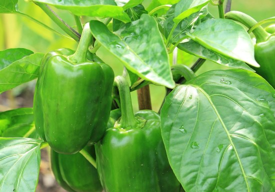 green pepper plant