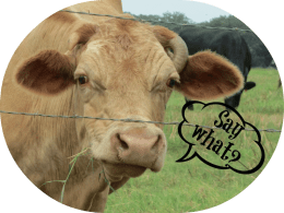 """cow saying """"say what?"""""""